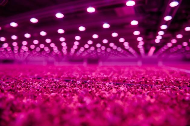 【新闻图片】昕诺飞LED植物照明系统助力加拿大GoodLeaf农场提高全年产量03